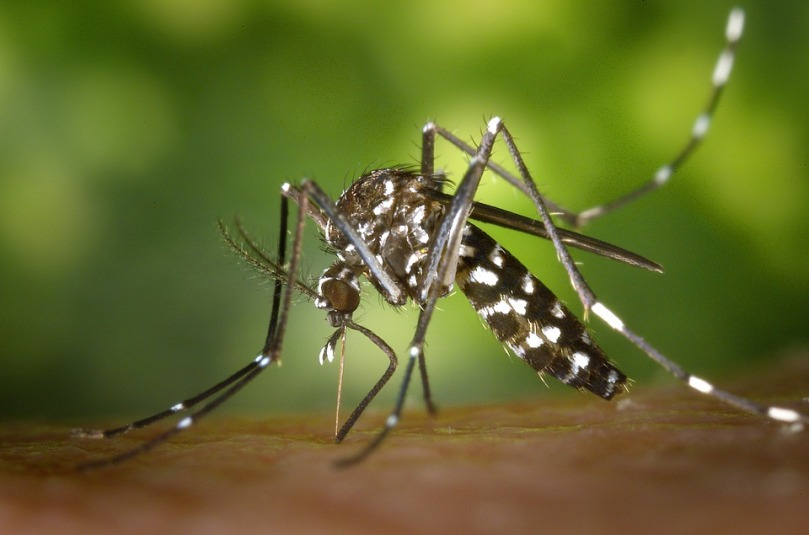 tiger-mosquito-49141_960_720